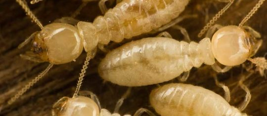 diagnostic de termites.