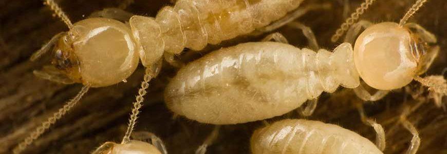 diagnostic de termites.